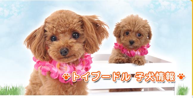 トイプードル犬情報